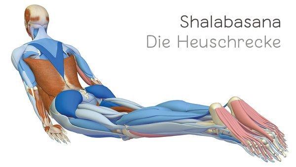 Yoga-Anatomie 3D: Die Heuschrecke: Salabhasana