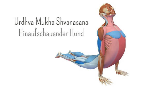 Yoga-Anatomie 3D: Der heraufschauende Hund