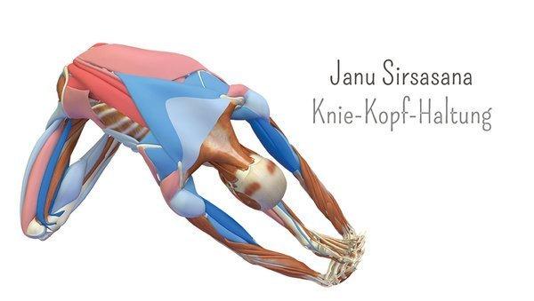 Yoga-Anatomie 3D: Kopf-Knie-Haltung Janu Sirsasana