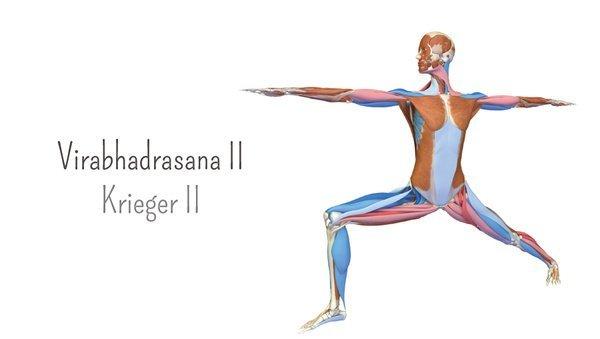 Yoga-Anatomie 3D: Krieger II – Virabhadrasana II