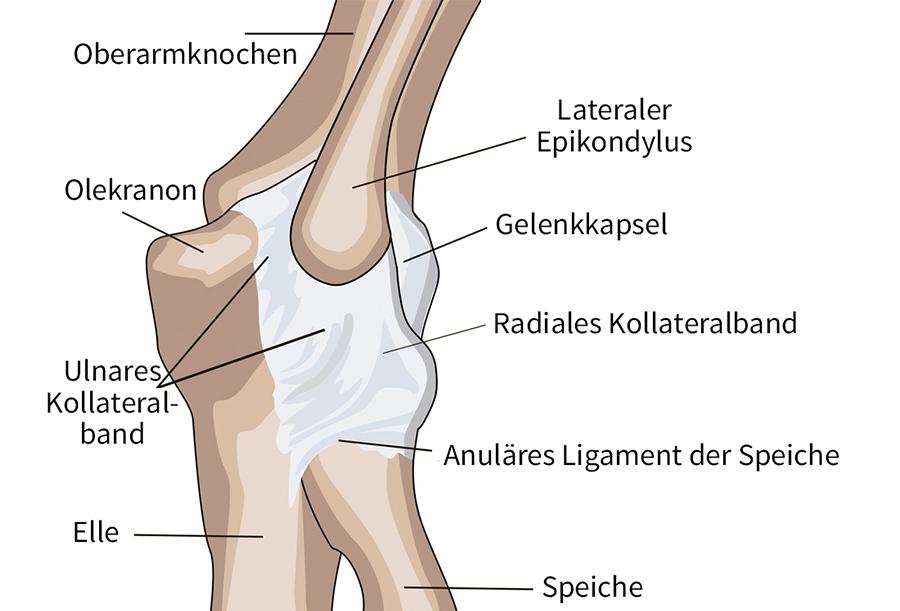 Ellbogen Anatomie Yoga