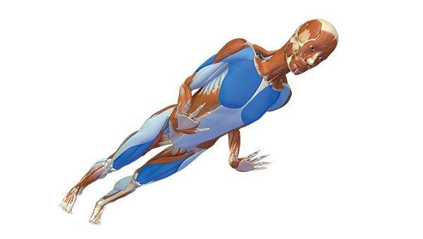 Chaturanga Dandasana Anatomie