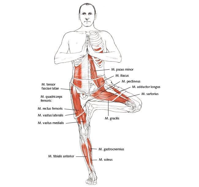 Baum Yoga Anatomie