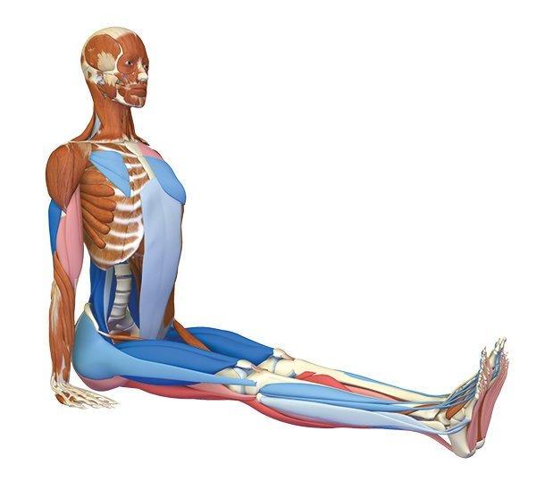 Yoga-Anatomie Dandasana