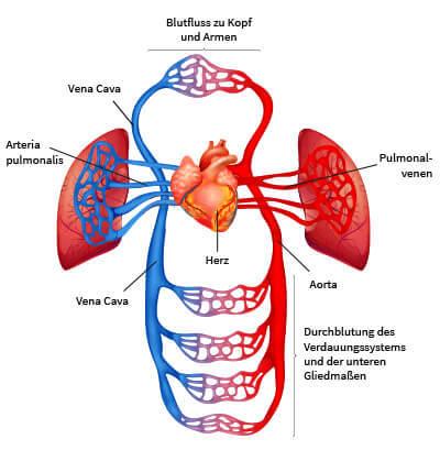 Herz Kreislaufsystem