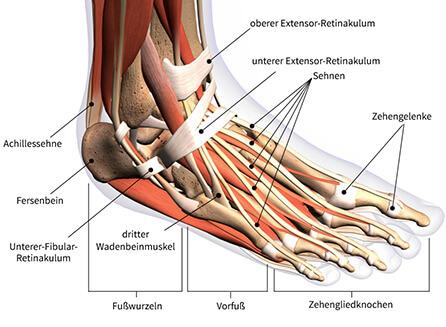 Yoga für die Füße Anatomie